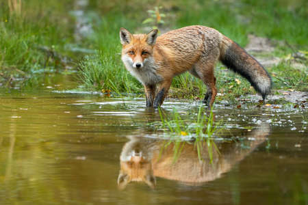 Red fox wading in water with reflection in summer nature Фото со стока