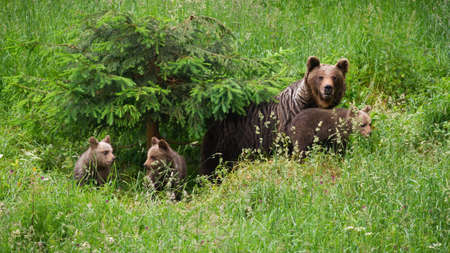 Family of brown bearmoving on pasture in green nature Фото со стока