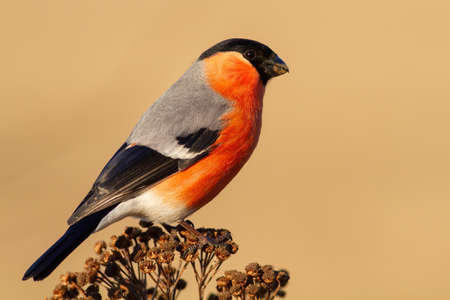 Adult male of eurasian bullfinch perched on the dry plant Banque d'images