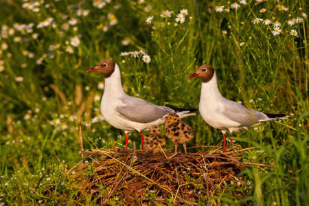 Adorable portrait of black-headed gull family nesting by the wild chamomile Фото со стока