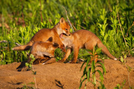 Family red fox playing on den in springtime nature Фото со стока