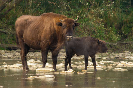 Two european bisons crossing the water in summer nature Фото со стока