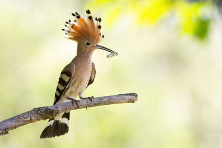Eurasian hoopoe sitting on branch in sunlight with copy space