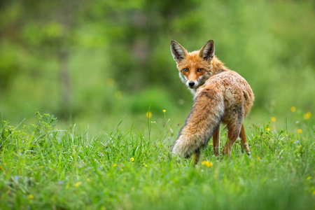 Beautiful red fox, vulpes vulpes, with fluffy tail standing and facing camera