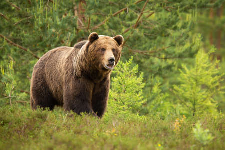 Brown bear standing with open mouth in forest in summer