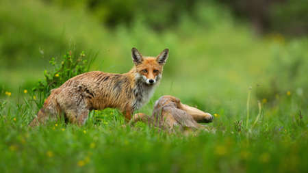 Red fox standing on green meadow with killed prey in summertime nature
