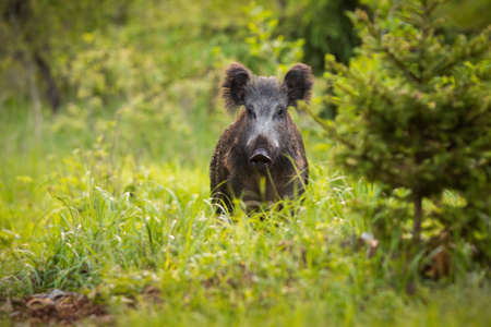 Curious wild boar, sus scrofa, looking from behind the grass on the forest clearing Фото со стока