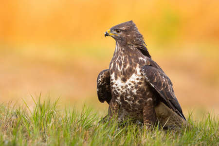 Common buzzard, buteo buteo, sitting on grassland in spring nature. Bird of prey looking on green field in springtime. Wild animal guarding on pasture.