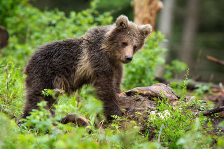 Little brown bear, ursus arctos, observing in forest in summer nature. Young predator standing in woodland. Wild mammal cub staring in green wilderness. Фото со стока