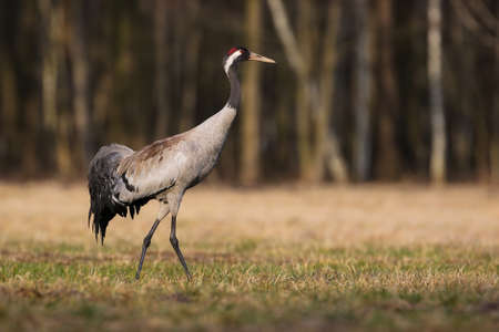 Common crane marching on grassland in spring nature