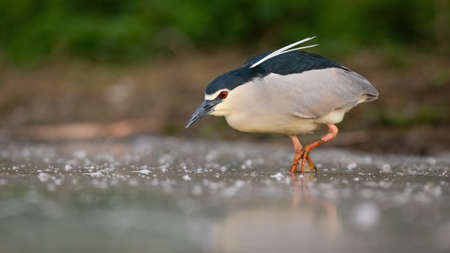 Black-crowned night heron wading in water in wet nature Фото со стока