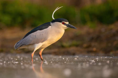 Black-crowned night heron standing in river in spring illuminated by evening sun.