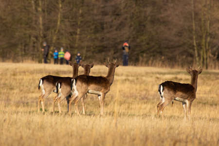 Fallow deer looking to the people in background in spring