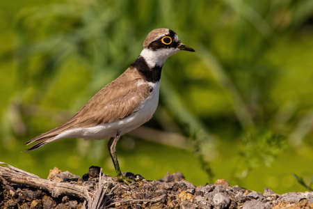 Little ringed plover looking on riverbank in summer