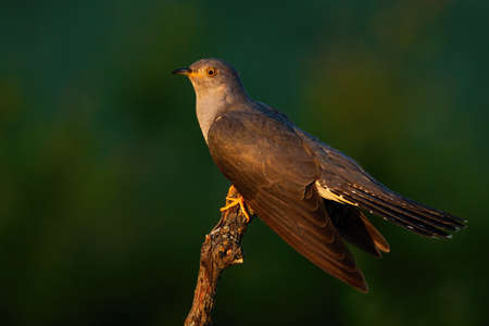 Common cuckoo sitting on branch in summer evening sun Фото со стока
