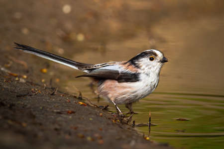 Long-tailed tit sitting on riverbank in spring nature