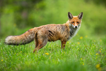 Curious red fox, vulpes vulpes, standing while hunting on the wildflower meadow Фото со стока