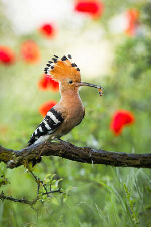 Colorful summer portraif of eurasian hoopoe, upupa epops, eating on the branch