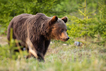 Brown bear walking in woodland in summertime nature Фото со стока