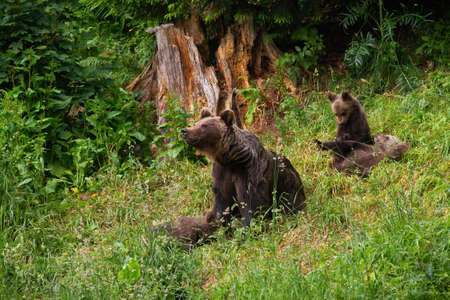 Family of brown bear playing on glade in summer nature Фото со стока
