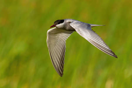 Common tern flying fast in green nature in summer Reklamní fotografie