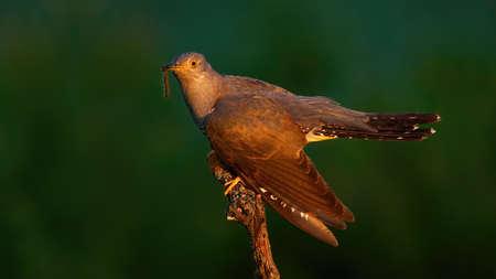 Common cuckoo eating worm on wood in summer evening Reklamní fotografie