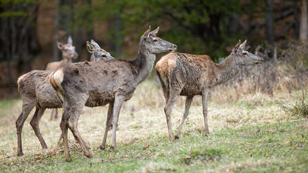Group of red deer standing on field in spring nature