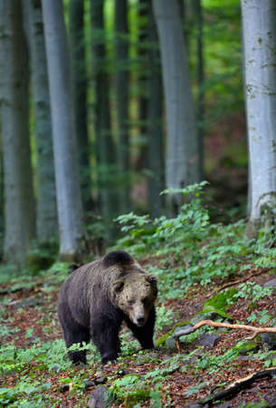Brown bear walking in forest in summertime nature.