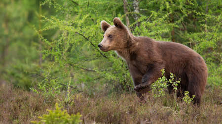 Young brown bear walking in forest in summer nature