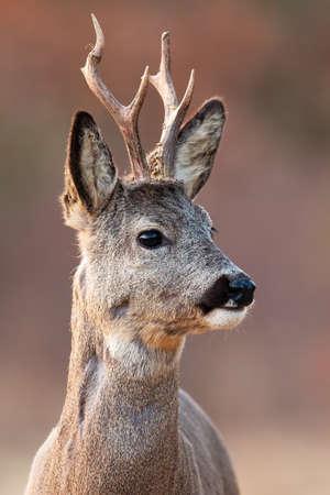 Portrait of roe deer looking in spring nature in vertical shot