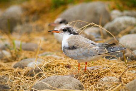 Juvenile common tern sitting on ground in summer nature Reklamní fotografie