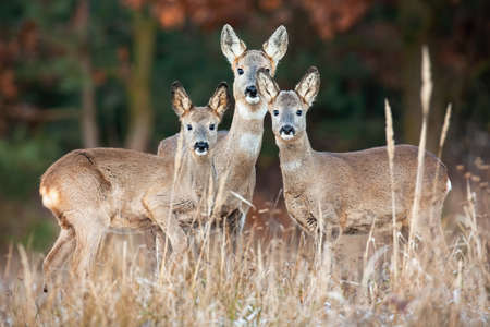 Family of roe deer standing on dry field in autumn
