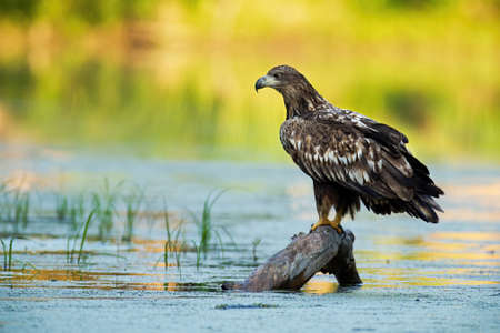 Young white-tailed eagle sitting on branch in water Reklamní fotografie