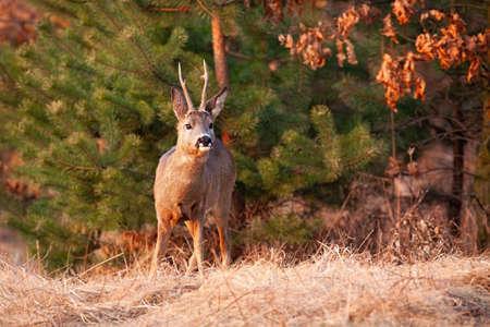 Roe deer looking on dry field in springtime nature