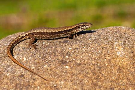 European green lizard female basking on stone in summer sun