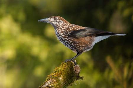 Spotted nutcracker sitting on branch in summer sunlight Reklamní fotografie