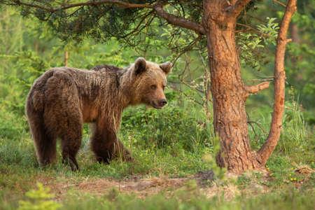 Little brown bear moving in woodland in summer nature Reklamní fotografie