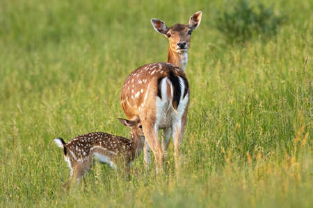 Fallow deer with fawn standing on meadow in summer nature Reklamní fotografie