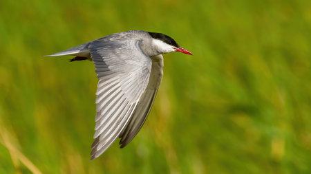 Common tern in flight in wetland in summertime nature