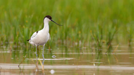 Pied avocet standing in flood in spring with copy space