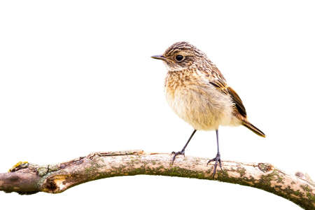 European stonechat sitting on branch cut out on blank