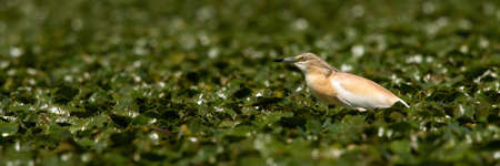 Squacco heron hunting in a swamp among plentiful water lilies.