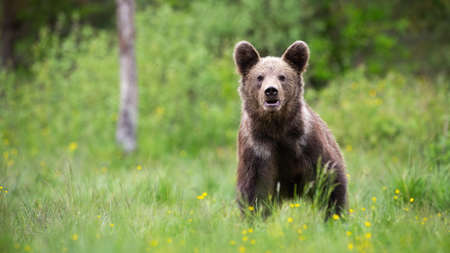 Brown bear standing on meadow in summer with copy space Reklamní fotografie