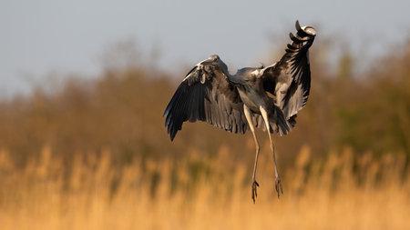 Grey heron landing on field in orange spring sunlight Reklamní fotografie