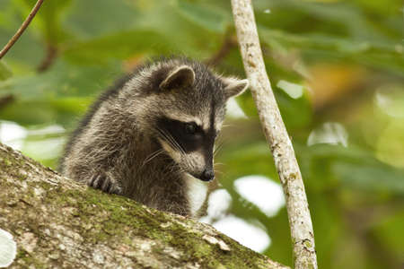 Young raccoon hiding on a branch of a tree and observing with interest. Reklamní fotografie