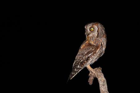 Isolated eurasian scops owl holding insect in beak with black background Reklamní fotografie