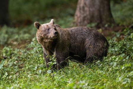 Brown bear standing in woodland in summertime nature Reklamní fotografie