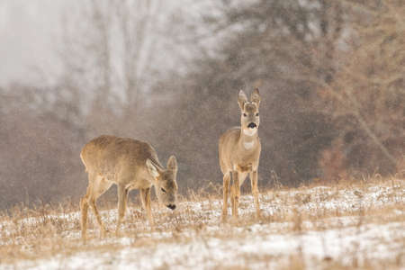Group of roe deer on a pasture covered with white snow. Reklamní fotografie