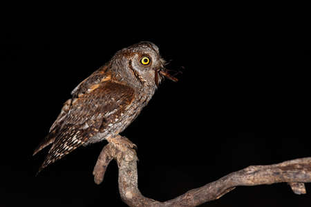 Eurasian scops owl perched on branch and feeling itself with brown bush-cricket