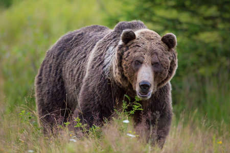 Huge brown bear standing on blooming meadow from front Фото со стока